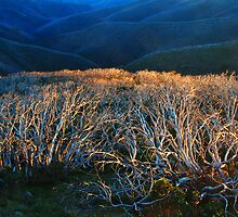 Fire Ravaged Snow Gums by Peter Hammer
