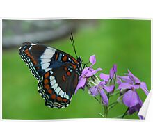 White Admiral Watching Me Poster