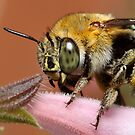Blue Banded Bee by Andrew Durick