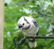 Blue Jay ready and waiting for his breakfast!!!  by maxy