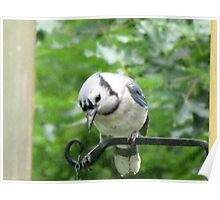 Blue Jay ready and waiting for his breakfast!!!  Poster