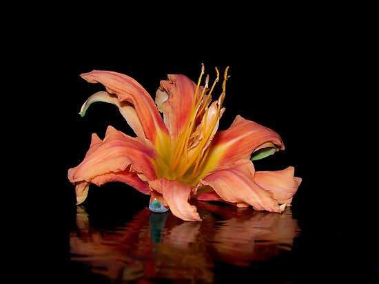 Reflection of the Old Fashion Daylily by Carmen Holly