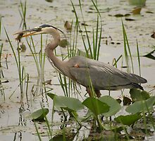 Heron lunch time by DansPhotos
