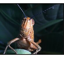 Grasshopper Macro Photographic Print