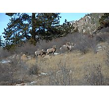Bighorn Diners Photographic Print