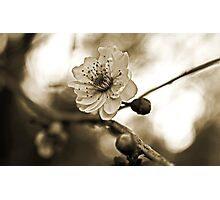 Cherry Blossoms in Sepia #2 Photographic Print