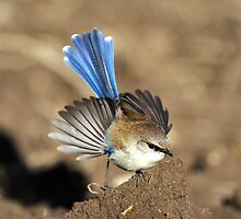 Superb Fairy -wren  III Marlo Australia . by helmutk