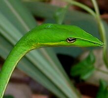 Green Vine Snake by jaycraft