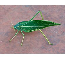 Leaf Insect Photographic Print