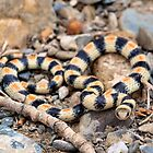Variable Groundsnake by Chris Morrison