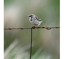 Meadow pipit Photographic Print