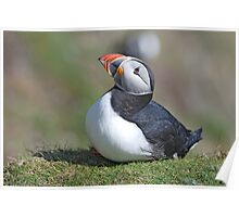 Shetland Puffin #2 Poster