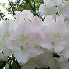 White rhododendron by Anita52