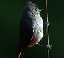 Tufted Titmouse by noffi