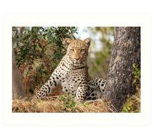 Male Leopard - Okavango Delta, Botswana Art Print