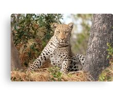 Male Leopard - Okavango Delta, Botswana Metal Print