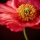 poppy II by narelle sartain