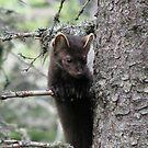 Pine Martin in Pukaskwa National Park - Heron Bay Ontario Canada by loralea