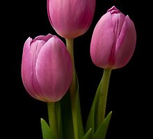 Three Tulips by RobYoung