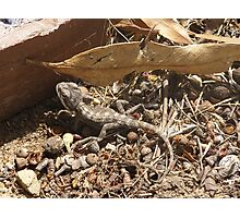 Very young Bearded Dragon, Adelaide Hills, Australia. Photographic Print