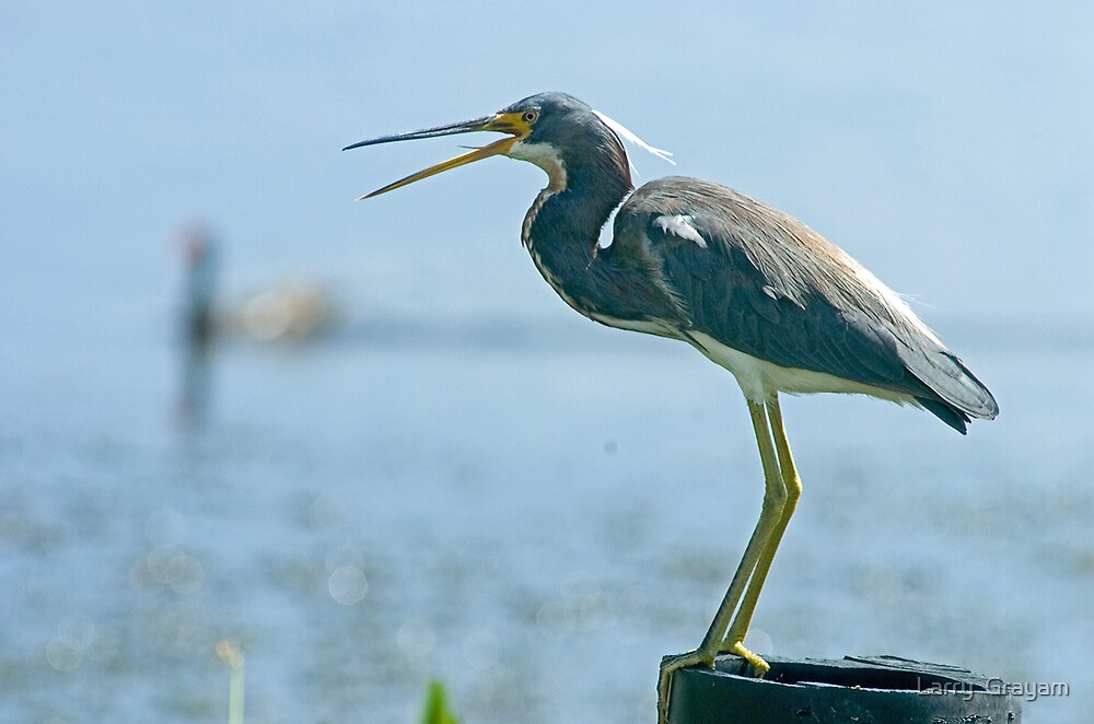 Tricolored Heron by Larry  Grayam