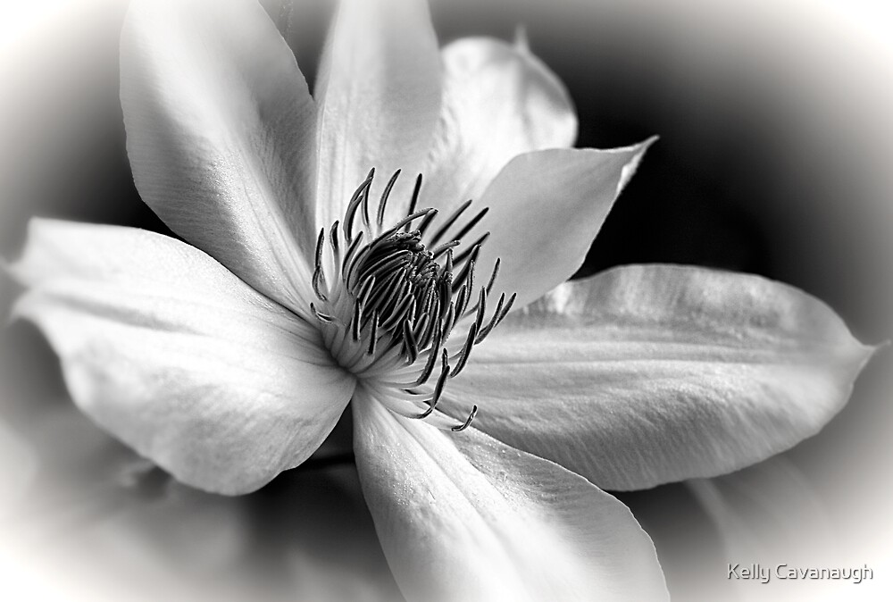 Henry Clematis by Kelly Cavanaugh
