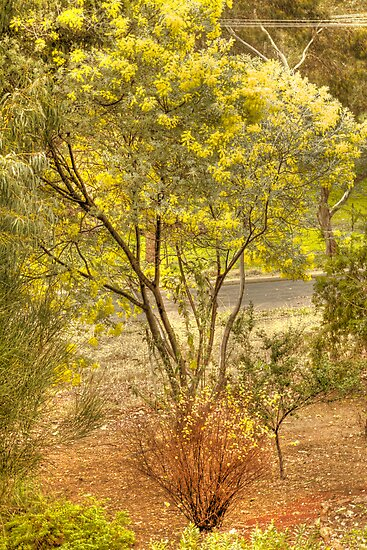 Wattle Tree by Elaine Teague