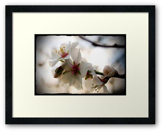 Almond Blossom by Kristi Robertson