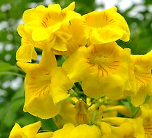 Yellow Trumpetbush by Rainy