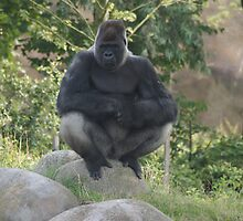 A gorilla named Bokito!! He was in the news!! by theheijt