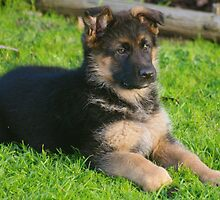 Zena the new puppy by janfoster