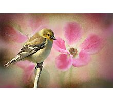 Winter Goldfinch/Summer Roses Photographic Print