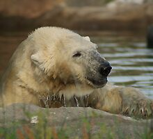 He is a little bit wet.......this polarbear by theheijt