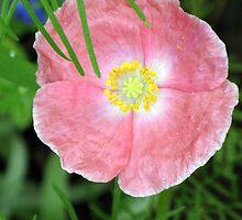 Tiny Poppy by CynLynn