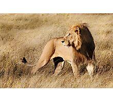 Male lion - Okavango Delta, Botswana Photographic Print