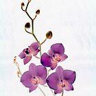 Orchid by Margaret Hockney