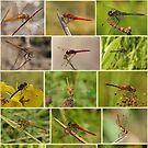 Darter Dragonflies by Robert Abraham