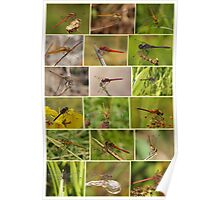 Darter Dragonflies Poster