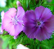 Sweet William by MaeBelle
