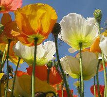 Poppy Fields by Janet Hamman Hunt
