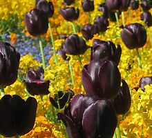 Black Tulips by Janet Hamman Hunt