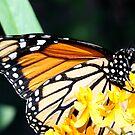 Magnificent Monarch by Blaze66