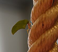 Leaf Cutting Ant by AnnDixon