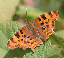Comma Butterfly by cornishgirlie