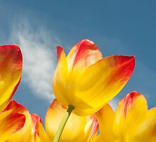 Yellow and Pink Tulips by stuwdamdorp