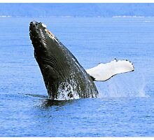 Baby Humpback Whale Breaching Photographic Print