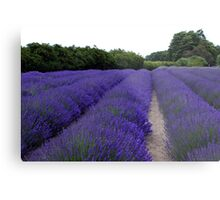 Lavender Fields Forever ~ Sequim, Washington Metal Print