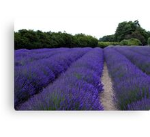 Lavender Fields Forever ~ Sequim, Washington Canvas Print