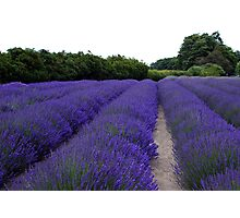 Lavender Fields Forever ~ Sequim, Washington Photographic Print