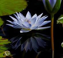 Blue Water Lilly by TomWagner